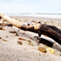 Another treasure brought ashore by the waves. Seen on Sandy Neck\'s Beach. Cape Cod, MA