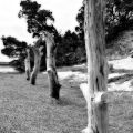 The columns of former trees fading away. Seen on Sandy Neck\'s trail 2. Cape Cod, MA