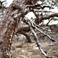 The Predator Tree. Seen on Sandy Neck Park trail 2. Cape Cod, MA