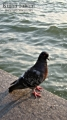 A pigeon seen at Battery City Park around 7.00 PM