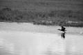 Taking off at the northern part of Bear Swamp Pool. Bombay Hook National Wildlife Refuge Smyrna, DE