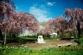 Cherry Blossoms at Fairmount Horticultural Center. Philadelphia, PA