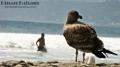 Don\'t look at me. A bird staring away while watching the beach. Coronado beach in Coronado Island. San Diego, CA