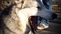 Kane, a timber wolf, yawning