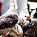 A congregation of pigeons III: