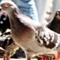A congregation of pigeons IV:
