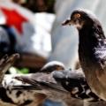 A congregation of pigeons V: