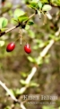 Japanese Berries, Larry mentioned they spread around thanks to the birds