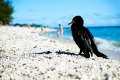 Siesta(Do Not Disturb). A Double-crested Cormorant trying to take a nap on the beach...Fort Zachary Taylor. Key West, FL