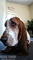 For some reason, it looks like all Basset Hounds look bored but they are not...I think!