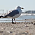 A seagull in a moment of contemplation. Corsons Inlet State Park. Ocean City, NJ
