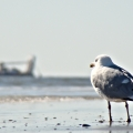 The Titanic. A seagull in a moment of contemplation. Corsons Inlet State Park. Ocean City, NJ