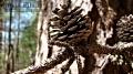 Pine Cob