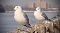 Sea gulls on the west side of Roosevelt Island