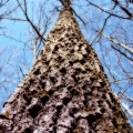 A tree seen along Ken Weber\'s 28 hike trails. Buck Hill Management Area. Burrillville, Rhode Island