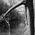 The tree that is trying to cross the water.  Valley Forge National Park. King Of Prussia, PA