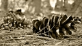 Pine Cobs, Sepia